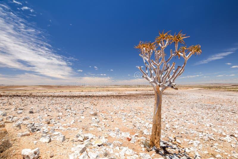 Vista panoramica di bello dichotoma dell'aloe dell'albero del fremito nel parco naturale del canyon del fiume del pesce in Namibi fotografia stock libera da diritti