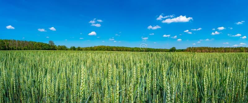 Vista panoramica di bello paesaggio dell'azienda agricola del giacimento di grano verde in primavera tarda, inizio dell'estate in fotografia stock libera da diritti