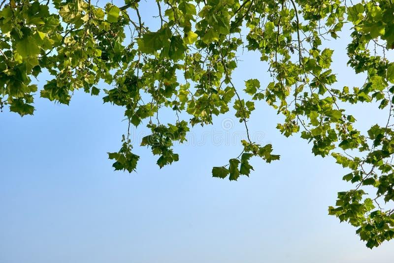 Vista para o céu azul obstruído parcialmente por ramos e por folhas de uma árvore imagens de stock royalty free