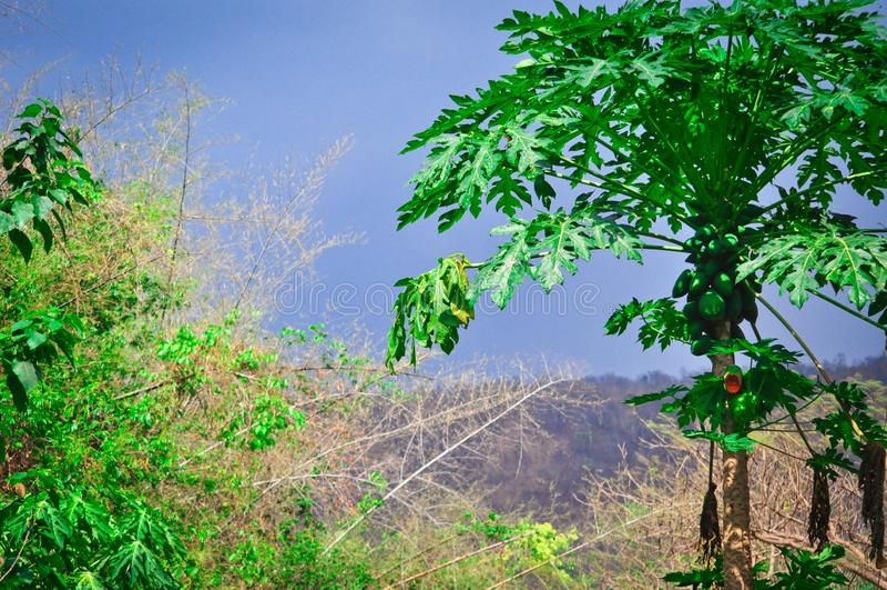 Vista pintoresca hermosa de la naturaleza verde rica con la palma de la papaya en Tailandia exótica imágenes de archivo libres de regalías