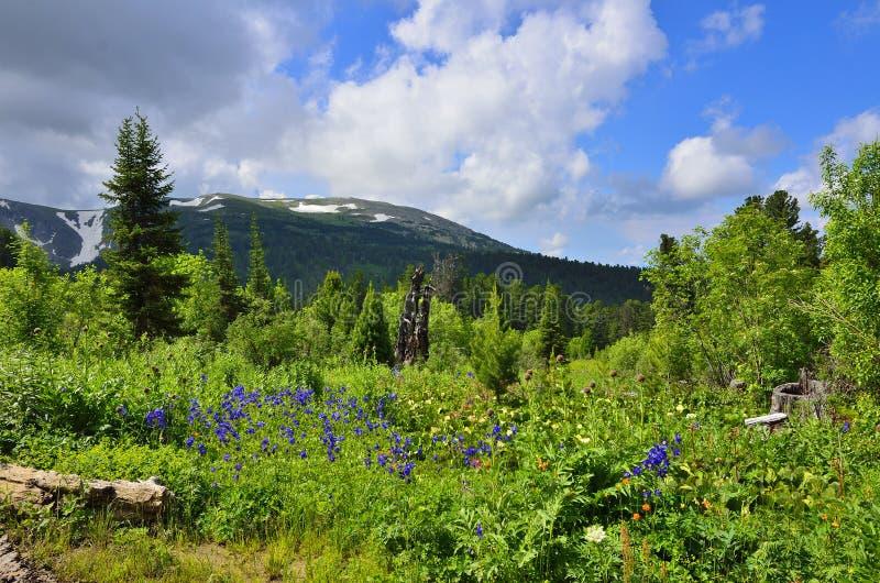 Vista pitoresca do prado alpino de florescência nas montanhas de Altai, R fotos de stock royalty free