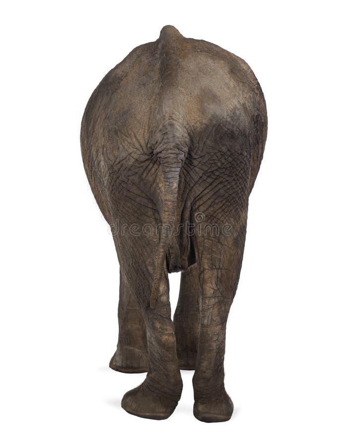 Vista posterior de un elefante africano imagenes de archivo