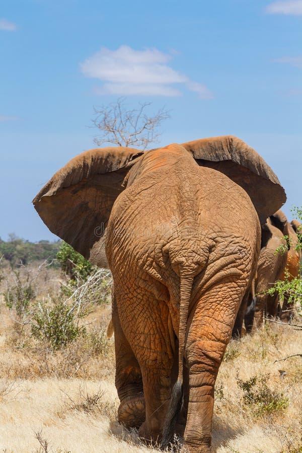 Vista posterior de un elefante imagenes de archivo