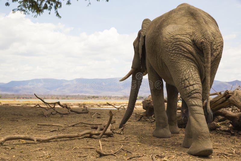 Vista posterior de un toro del elefante africano imágenes de archivo libres de regalías