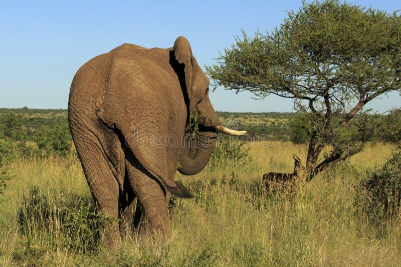 Vista posterior de una consumición del elefante fotos de archivo