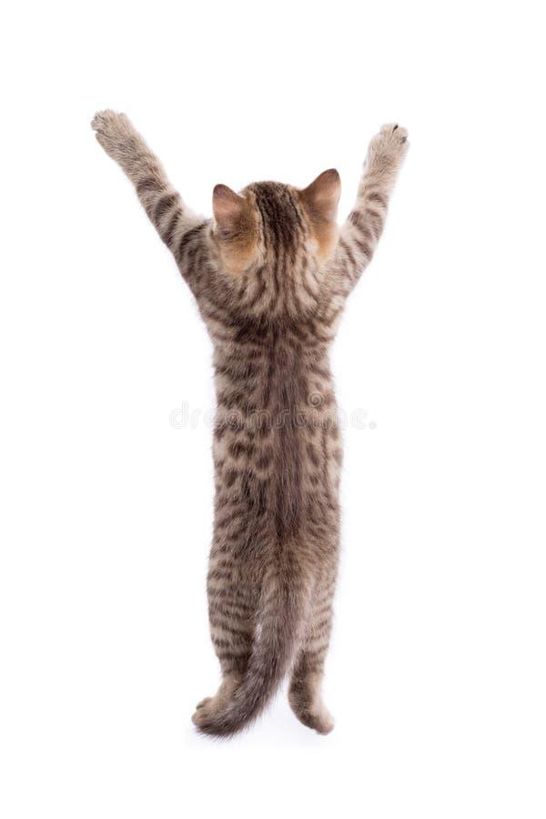 Vista posterior del gatito divertido del gato de gato atigrado que se coloca en las piernas aisladas en blanco fotos de archivo