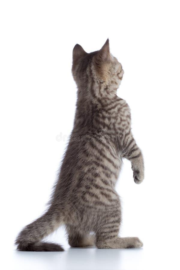 Vista posterior del gatito del gato atigrado-gato que se coloca en las piernas aisladas en blanco imagenes de archivo