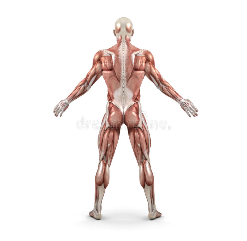 Vista Posterior Del Sistema Muscular Masculino Stock de ilustración ...