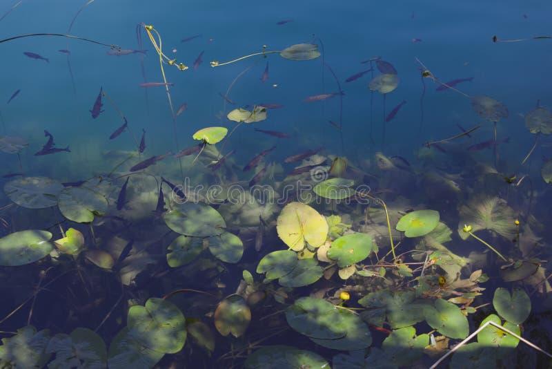 Vista próxima ao lago da montanha completamente de lírios dos peixes e de água Colorido com tom azul imagens de stock royalty free