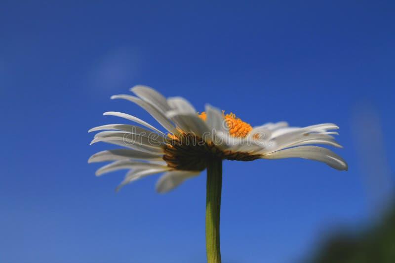 Vista próxima da flor da camomila no macro do dia de verão fotografia de stock royalty free