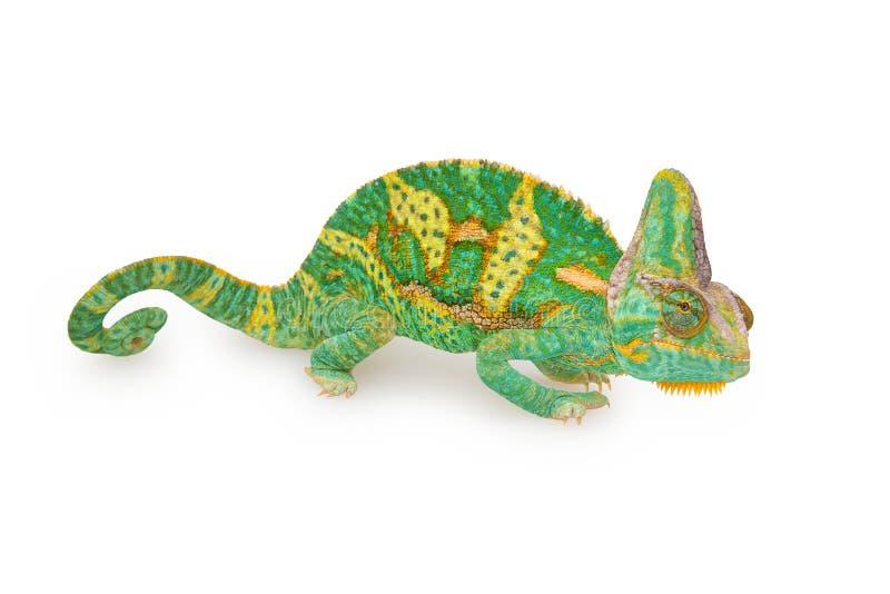 Vista próxima de um calyptratus colorido verde bonito do chamaeleo foto de stock royalty free