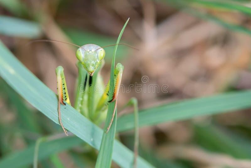 Vista próxima do religiosa fêmea verde da louva-a-deus fotografia de stock royalty free