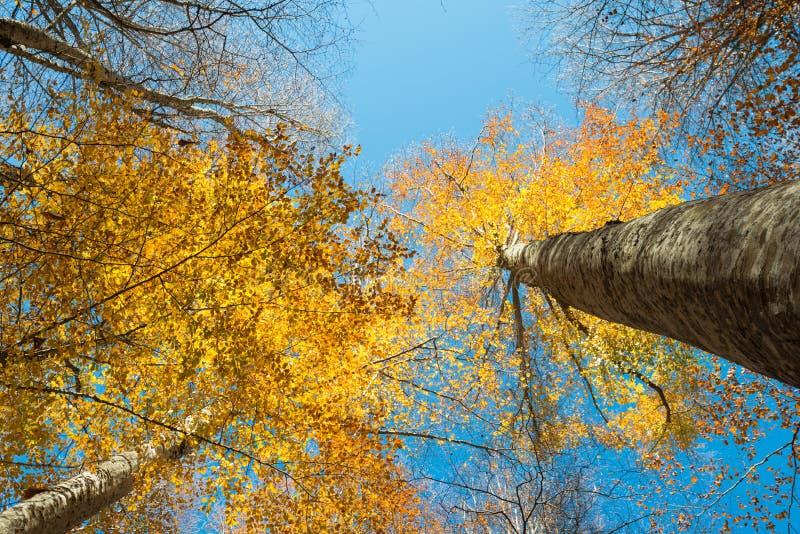 Vista próxima horizontal de um tronco da faia e de uma folha dourada do outono fotografia de stock royalty free