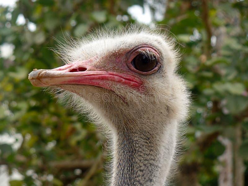 Vista principal da avestruz curiosa ao redor imagens de stock