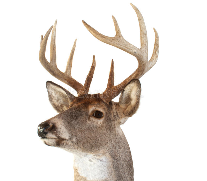 Vista principal dos cervos de Whitetail à esquerda imagem de stock royalty free