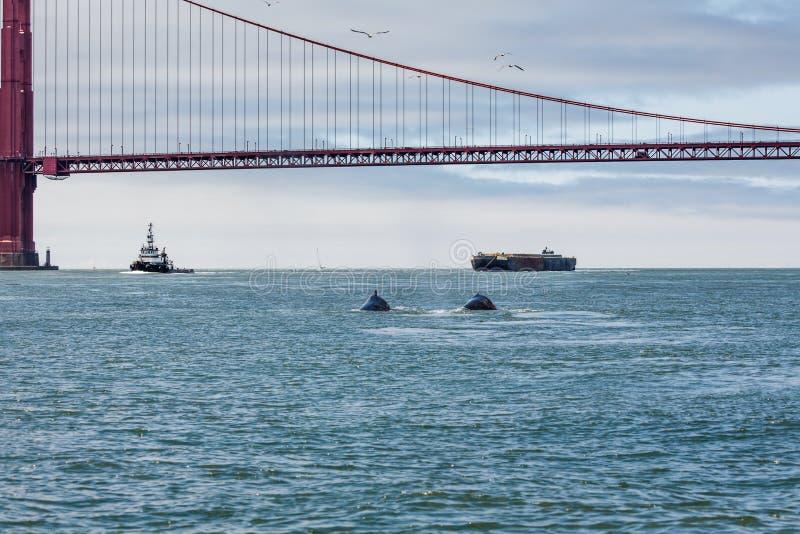 Vista rara de la ballena jorobada de la madre, novaeangliae del Megaptera, natación con el bebé imágenes de archivo libres de regalías