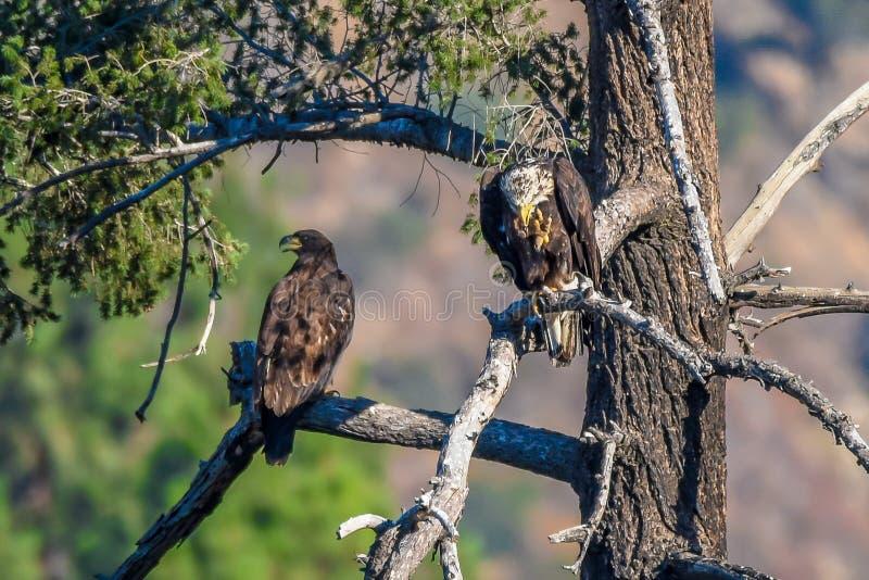 Vista rara Eagle calvo americano en la serie de California meridional imagen de archivo libre de regalías