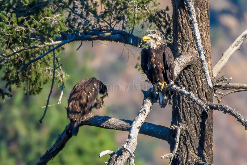 Vista rara Eagle calvo americano en la serie 11 de California meridional fotografía de archivo libre de regalías