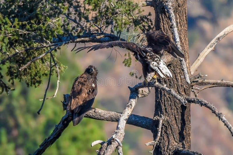 Vista rara Eagle calvo americano en la serie 6 de California meridional fotos de archivo libres de regalías