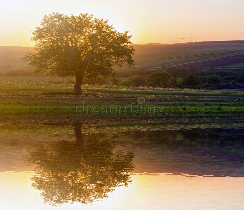 Vista reservada y pacífica del árbol verde grande hermoso en la puesta del sol que crece solamente en campo de la primavera en la fotos de archivo libres de regalías