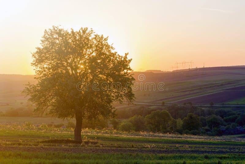 Vista reservada y pacífica del árbol verde grande hermoso en la puesta del sol que crece solamente en campo de la primavera en la fotografía de archivo