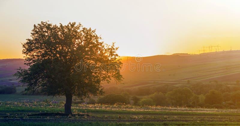 Vista reservada y pacífica del árbol verde grande hermoso en la puesta del sol que crece solamente en campo de la primavera en la imagen de archivo libre de regalías