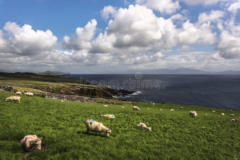 Vista scenica di pascolo delle pecore sul prato grean contro il cielo nuvoloso, penisola delle Dingle, Irlanda fotografia stock libera da diritti