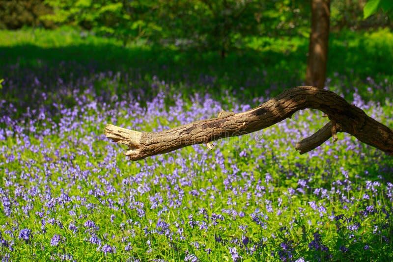 Vista scenica di un prato coperto campanula con un grande ramo di albero rotto nella priorità alta immagini stock libere da diritti