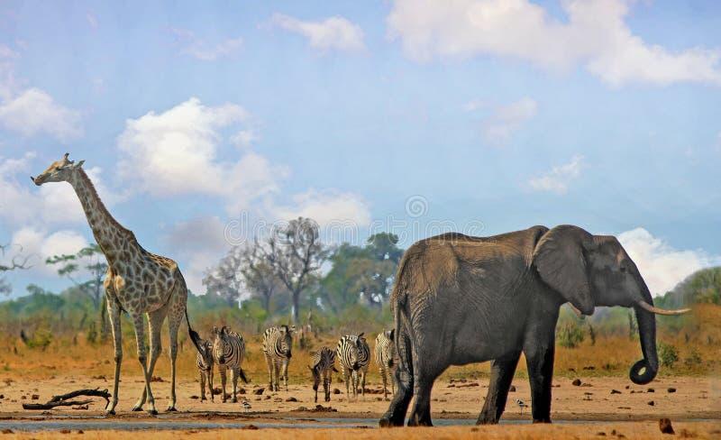 Vista scenica iconica di un waterhole africano con l'elefante, la giraffa e le zebre, con un cielo luminoso blu-chiaro fotografie stock libere da diritti