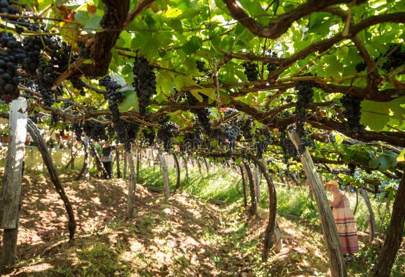 Vista sobre os vinhedos de Madeira Vinho Empresa, Estreito de Camara de Lobos, Madeira fotos de stock royalty free