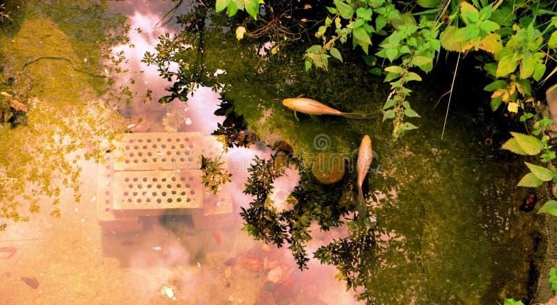 Vista sopraelevata di uno stagno del giardino con due golfishes immagine stock