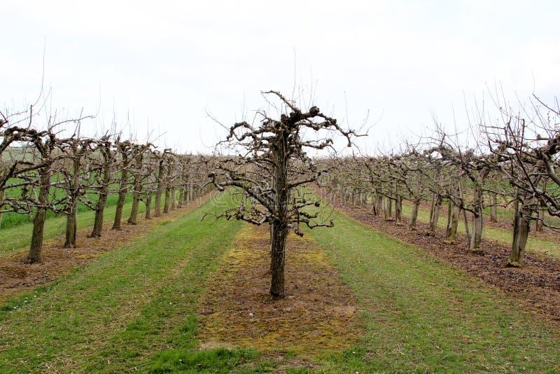 Vista su tre linee di vigna su un campo nello stadecken-elsheim Germania e circondare immagine stock libera da diritti