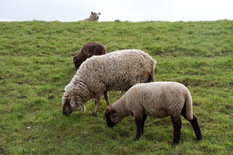 Vista su un'erba foraggera di tre pecore nel emsland Germania del rhede SME immagini stock