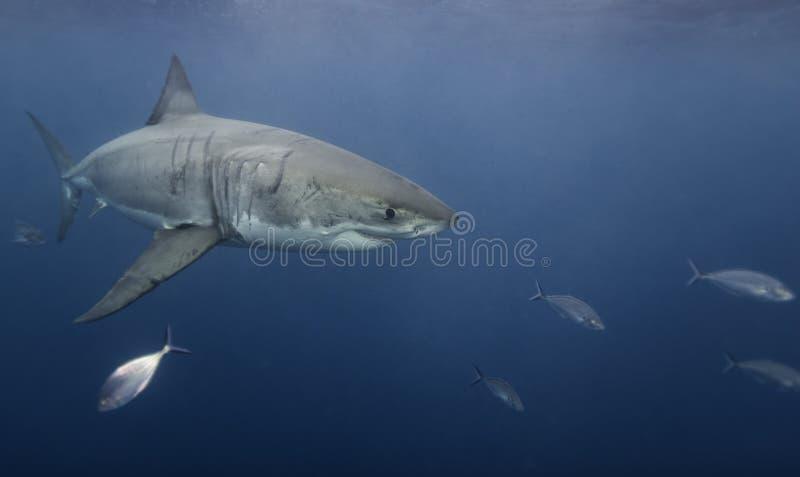 Vista subacuática de un gran sur de Australia de las islas de Neptuno del tiburón blanco foto de archivo libre de regalías