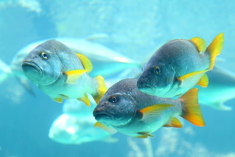 Vista subaquática das carangas imagem de stock royalty free