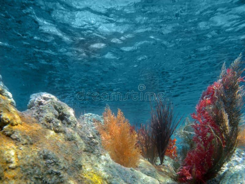 Vista subaquática do oceano com plantas e coral imagem de stock