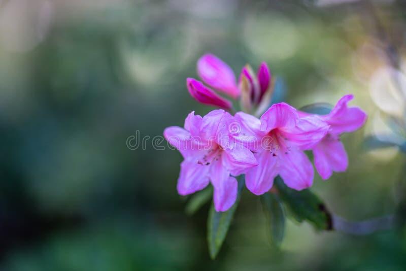 Vista sul fiore porpora dell'azalea fotografie stock