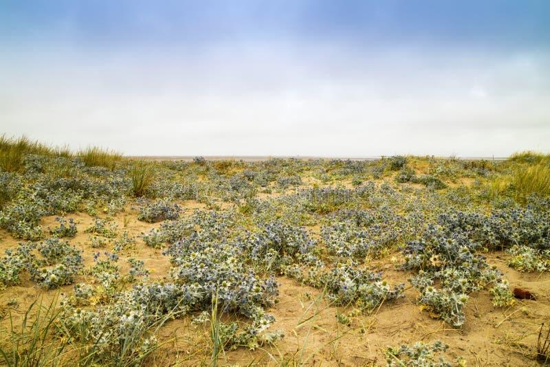 Vista sul mare con le dune sabbiose e le piante della calcatreppola marina immagini stock libere da diritti