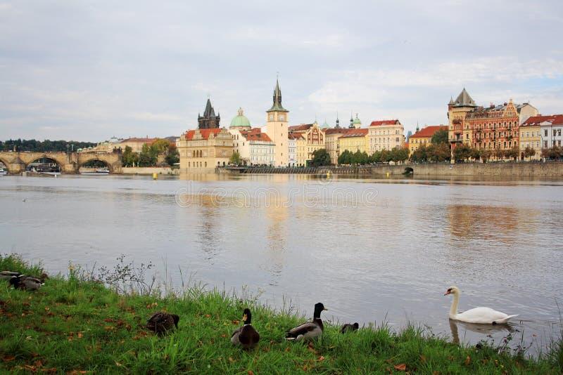 Vista sul ponte, sulle anatre e sul cigno di Charles sul fiume della Moldava a Praga, repubblica Ceca fotografia stock libera da diritti