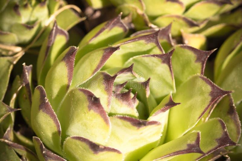 Vista superior bonita na planta suculento fotos de stock