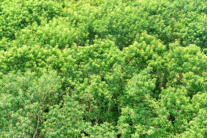 Vista superior cênico da folha verde-clara da floresta dos manguezais imagens de stock