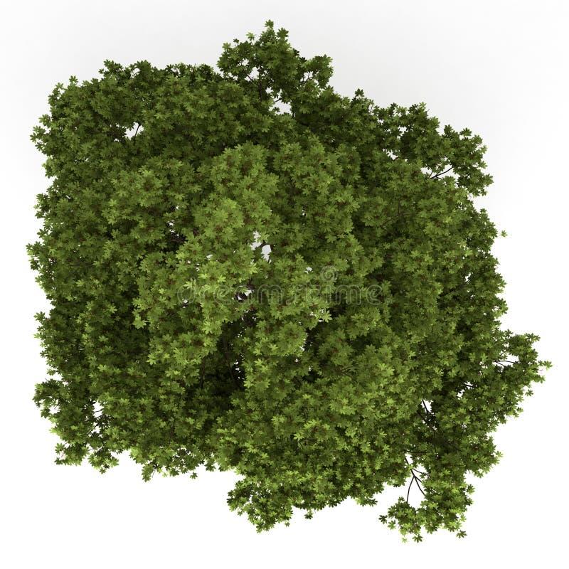 Vista superior da árvore de bordo do campo isolada no branco ilustração stock