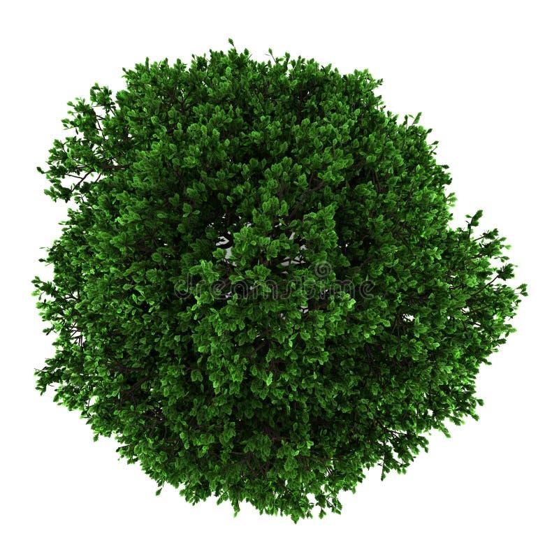 Download Vista Superior Da árvore De Carvalho Pedunculate Isolada No Branco Ilustração Stock - Ilustração de isolado, alto: 26517786