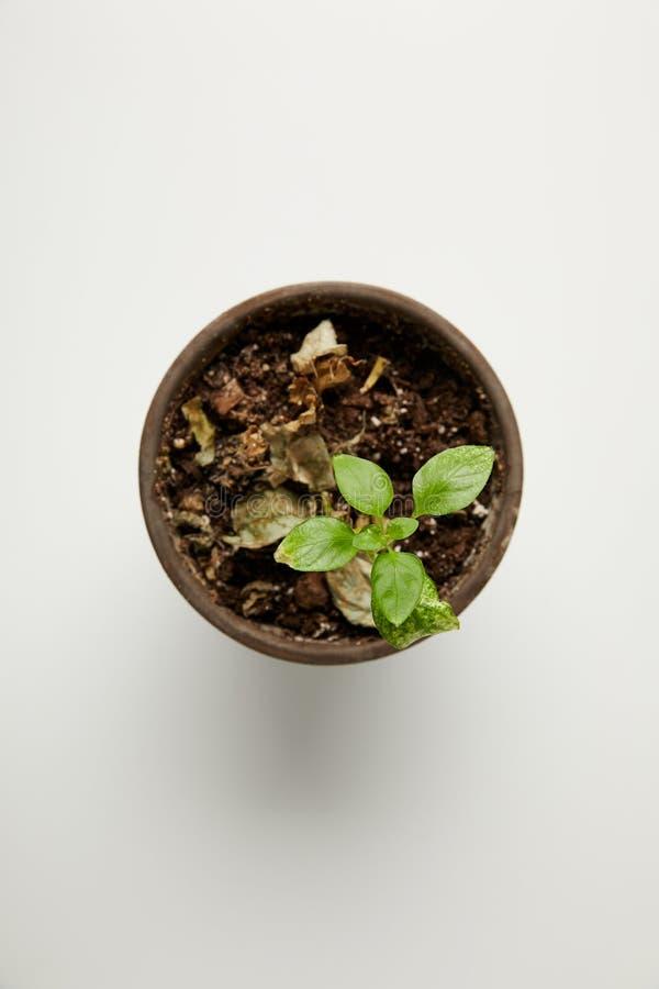 vista superior da única planta verde e das folhas secadas no solo no potenciômetro no cinza imagem de stock