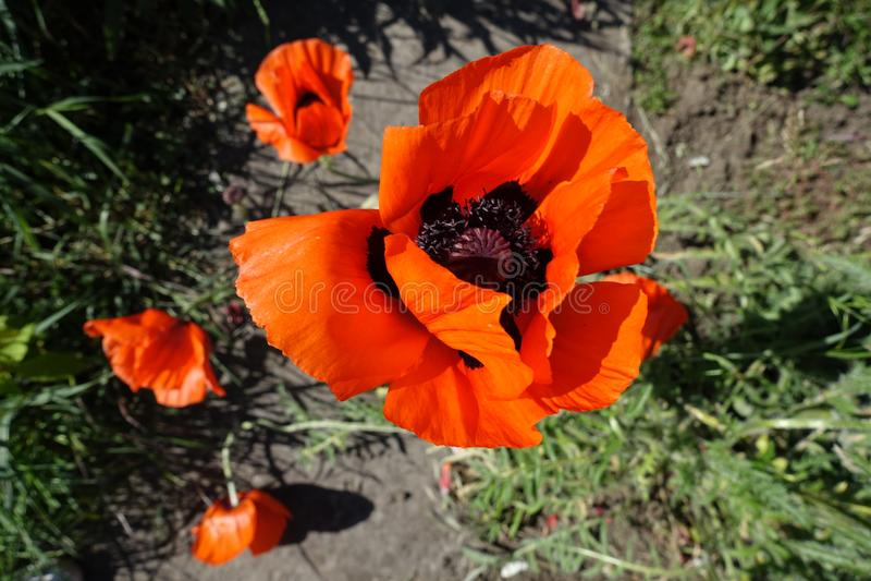 Vista superior da flor da papoila oriental fotografia de stock royalty free