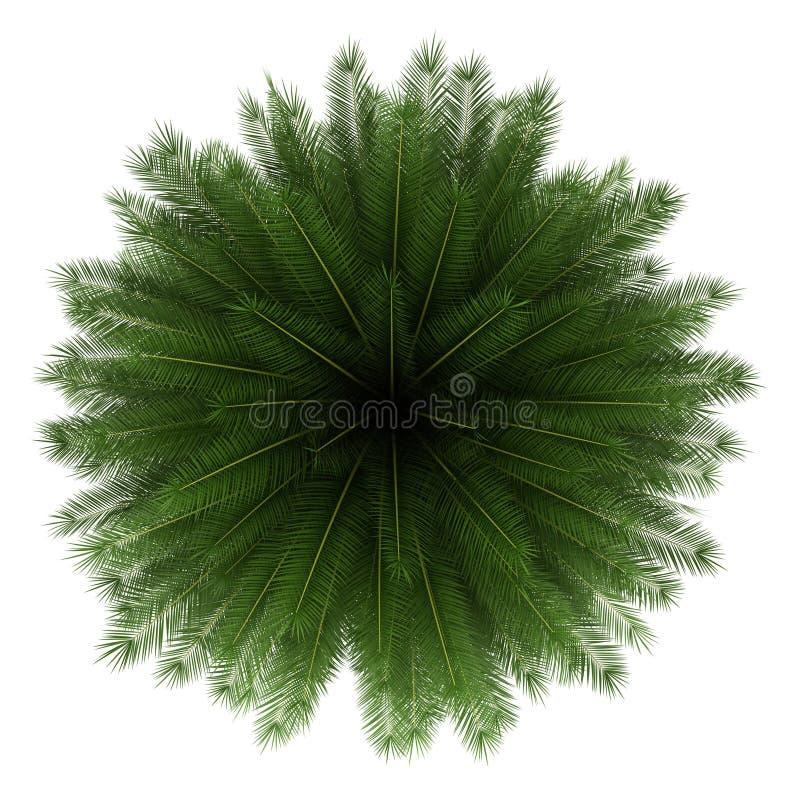 Vista superior da palmeira da tâmara das Ilhas Canárias isolada ilustração royalty free
