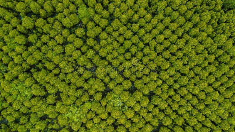 Vista superior da tanga do dente do inTung de Forest Mangroves ou de Mangro dourado imagens de stock
