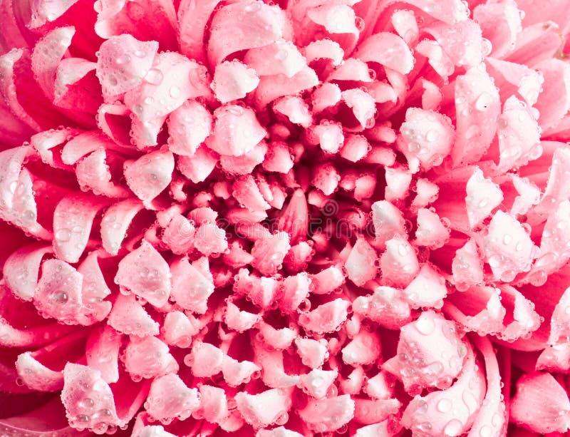 Vista superior das pétalas de grandes crisântemos cor-de-rosa nas gotas de orvalho fotografia de stock