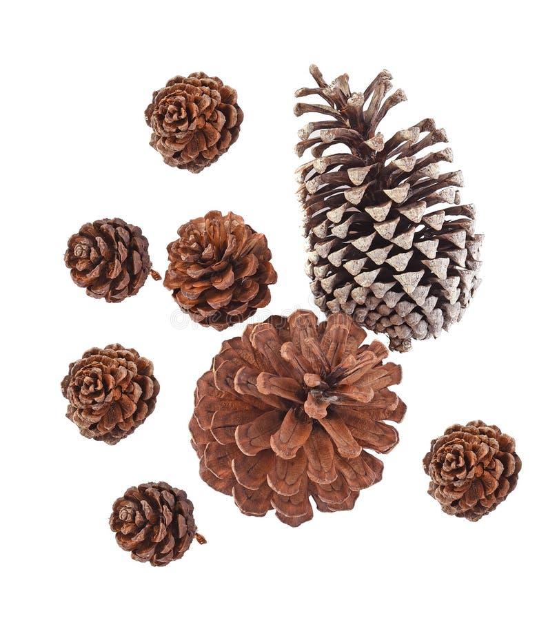 Vista superior das várias árvores coníferas dos cones ajustados grandes isoladas no fundo branco imagem de stock royalty free