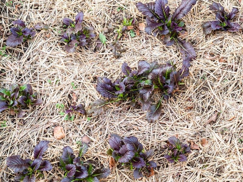 vista superior de brotes púrpuras de verduras en jardín imagen de archivo